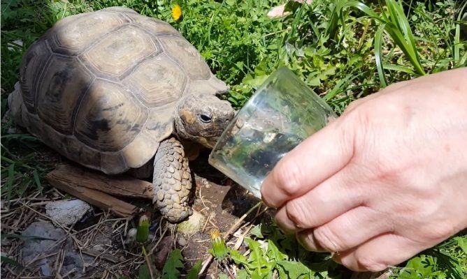 tortugas beben agua