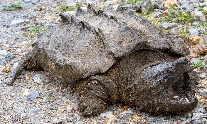 Tortuga Caimán Macrochelys temminckii