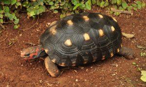 Tortuga Morrocoy Chelonoidis carbonaria
