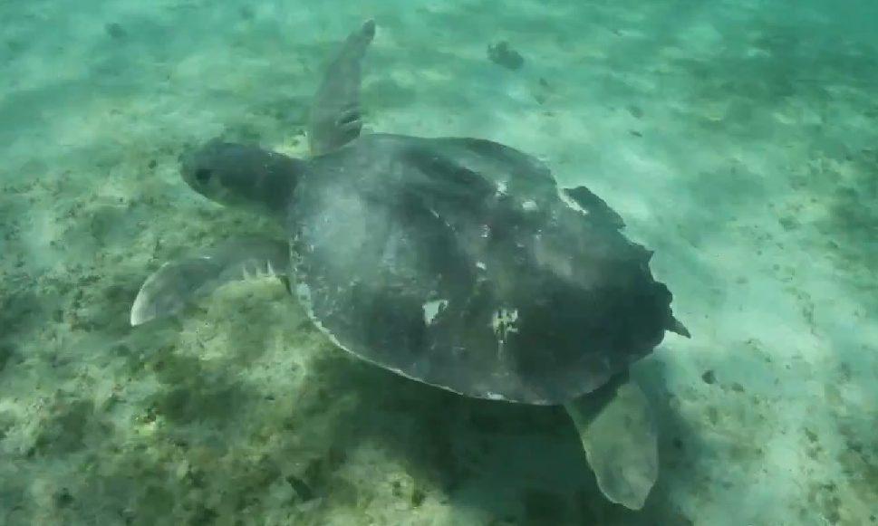 Tortuga Plana Natator depressus