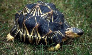 Tortuga Radiada Astrochelys Radiata