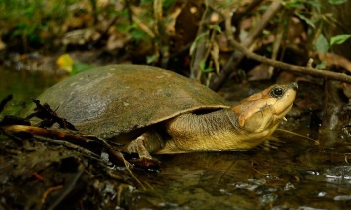 Tortuga de río Podocnemis lewyana